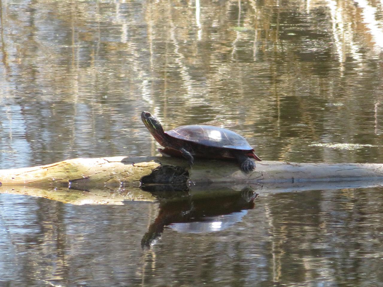 Turtle enjoying the sun in Seneca County (photo)